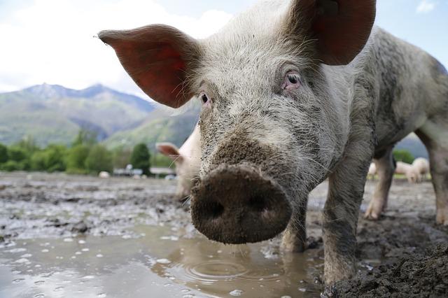 ein Schwein